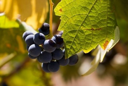 Grapes on a vine at Sobon Estate Winery